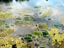 Algae forming on the surface of water.